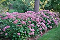 hydrangea_arborescens_pink_annabelle