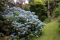 hydrangea_serrata_blue_deckle